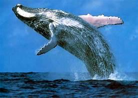 whale-breech